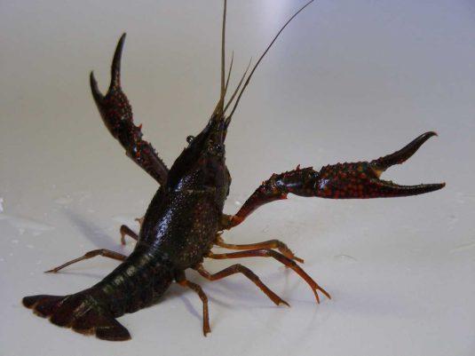 écrevisse de Louisiane (Procambarus clarkii)