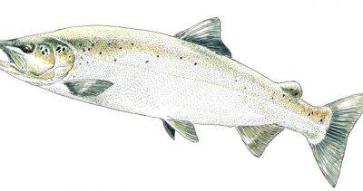 La pêche des salmonidés migrateurs en 2020