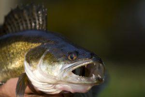 Ouverture de la pêche du sandre en 2ème catégorie samedi 1er juin à 5h34